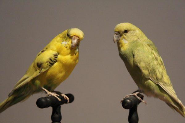 opgezette gele kanaries